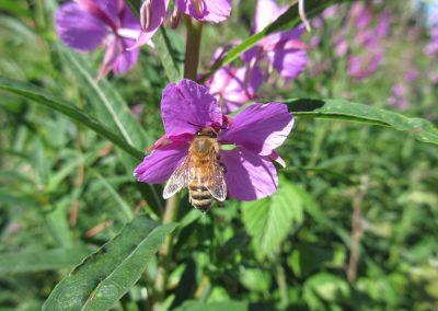 Mehilainen kukassa
