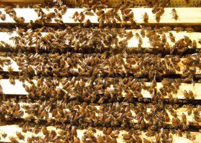 Mehilaisia pesassa