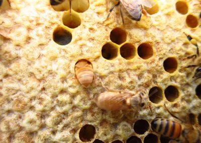 Pienia mehilaisia
